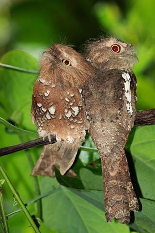 Javan frogmouth - a species of birds of the frogmouth family