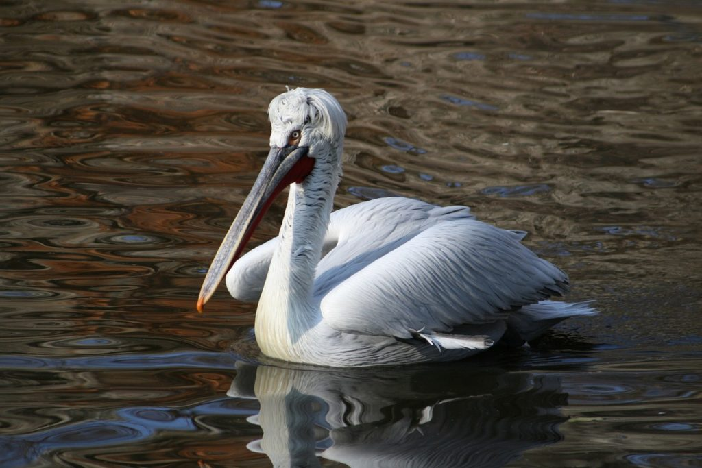 Description of the Curly-haired Pelican from the Red Book