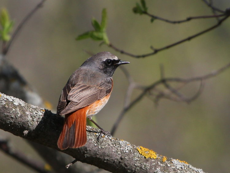 The redstart is the bird that was twice chosen as the bird of the year