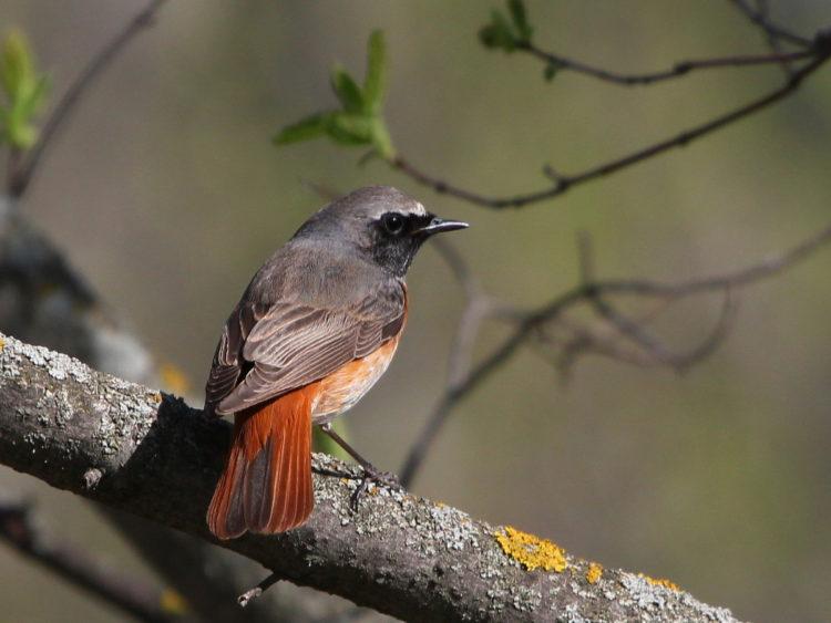 Kızılkuyruk, yılın kuşu olarak iki kez seçilen kuştur.