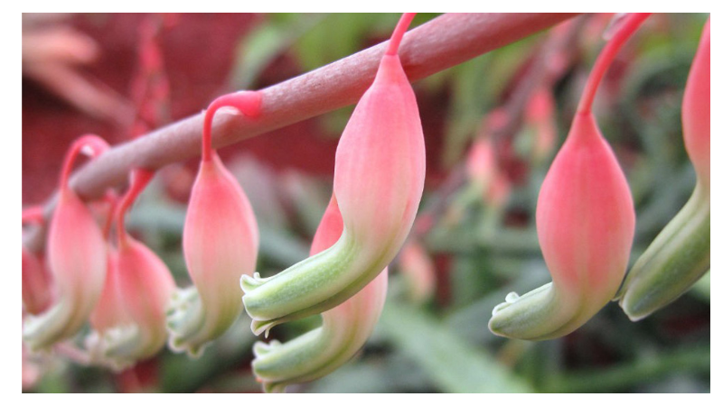 Gasteria, popular home species and their care