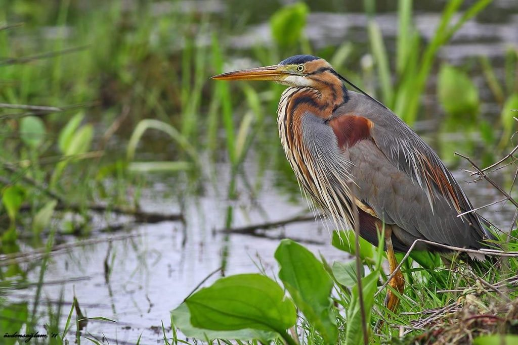 Red heron, she is the imperial, she is the purple heron