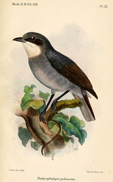 Encyclopedia | Light Eyed Flycatcher - Wiki