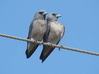 Gray artam is a species of birds from the swallow shrike family