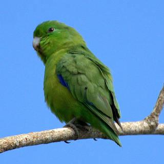 O papagaio passeriforme de asa azul é uma ave da família dos papagaios que vive na maior parte da América do Sul