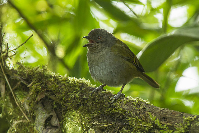Gray-breasted shrub tanager - ornithology articles