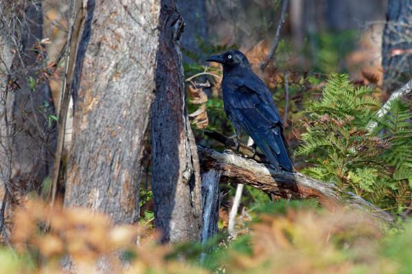 Tasmanischer Rabe / Corvus tasmanicus