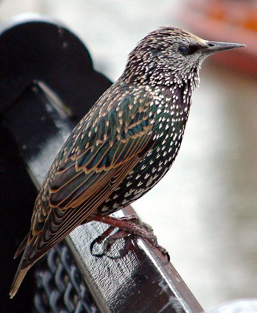 Starlings are a family of medium-sized songbirds, consisting of 104 - 118 species, divided into 25 - 32 genera