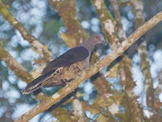 حمامة سولاويزية هي نوع من الطيور من عائلة الحمام