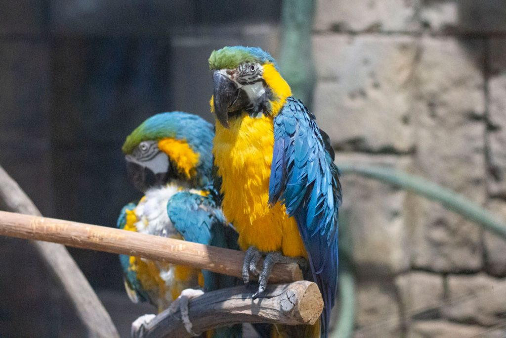 Varieties, life span and everything about macaw parrots