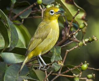 Philippine white-eyed- a species of passerine birds fromfamily white-eyex