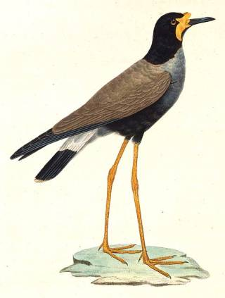 Black-bellied lapwing - a species of birds from the plover family