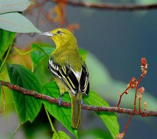 Yors are a genus of passerine birds, the only one in the Yor family