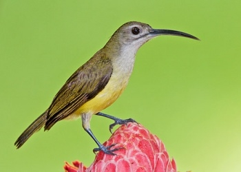 Orange-tufted Spiderhunter - BirdForum Opus