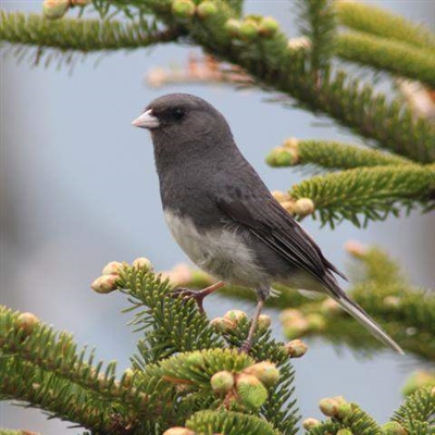 White-eyed forest - a species of birds from the white-eyed family