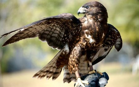 What is the Difference Between Falcon and Hawk