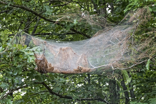 The community weaver builds the world's largest nests