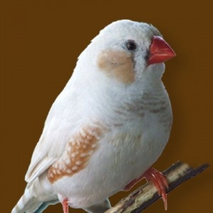 The yellow-tailed canary finch is a species of passerine birds of the finch family