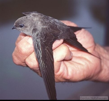 African swift palm