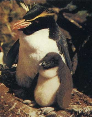 Crested Penguin / Eudyptes chrysocome