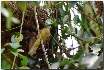 Eastern Mountain Greenbul - BirdForum Opus