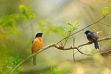 Warblers are a genus of passerine birds from the arboreal family