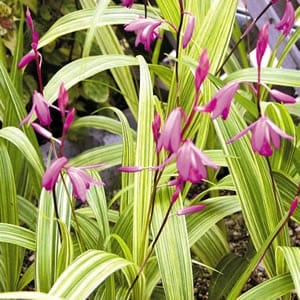 Bletilla striped purple