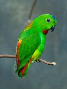Genus Hanging parrots - Loriculus