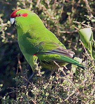 Yellow-fronted jumping parrot - birds of new zealand