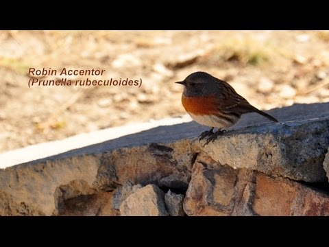 Red-throated Accentor / Prunella rubeculoides