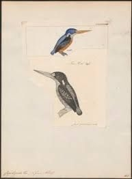 Woodland Kingfisher / Ceyx lepidus