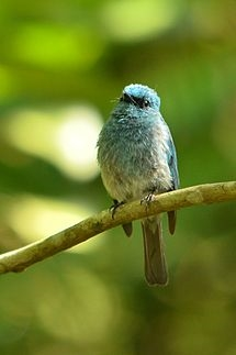 Flycatcher family - Muscicapidae (Vigors, 1825)