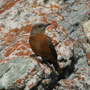 Spotted Rock Thrush