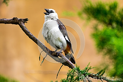 The white-headed starling weaver is a bird of the Weaver family that lives in East Africa