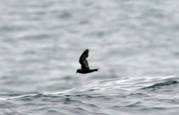 Fork-tailed storm petrels are a genus of seabirds from the family of storm petrels of the trumpet order