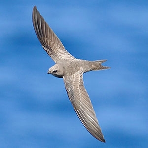 Swift (Apodiformes)